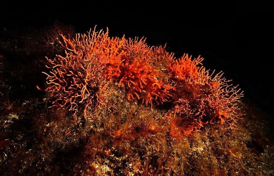 Denizlerin Yağmur Ormanları Mercanlar (3)